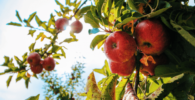 Apples: The Fruit Of The Gods And Immortality